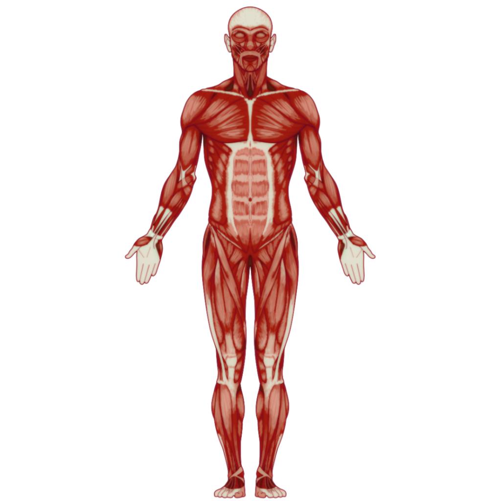人体解剖図