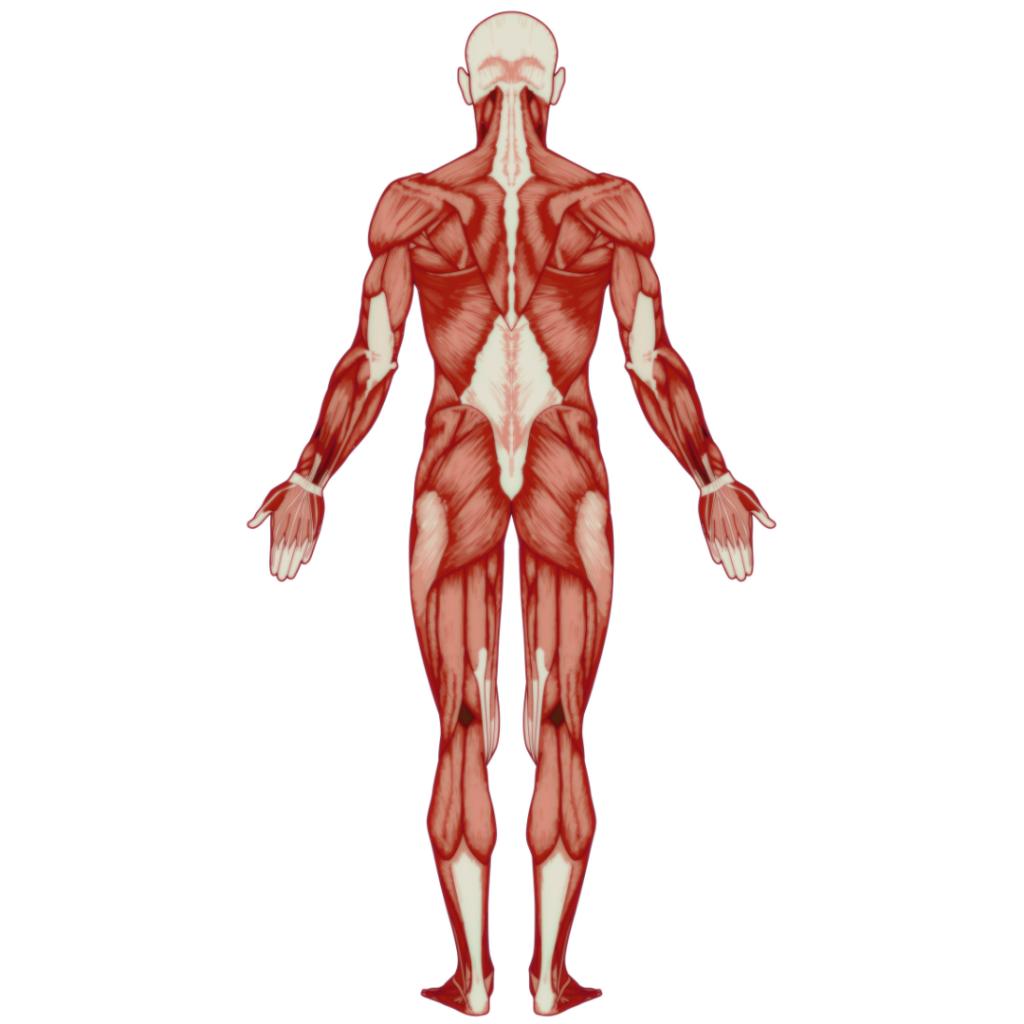人体解剖図2