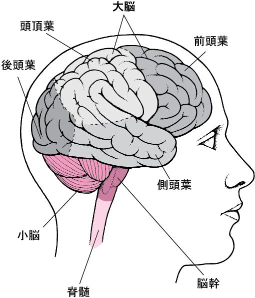 大脳の4つのエリア、前頭葉、頭頂葉、側頭葉、後頭葉の図解